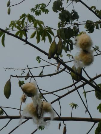 棉花树会结果,长了一粒粒的棉铃,当棉铃成熟时就会裂开,白白的棉花便挂满树。