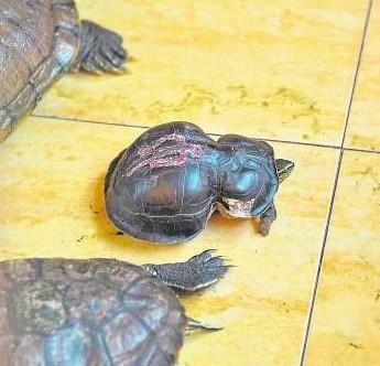 神龟赐健康-外观特别的灵龟可是保佑善信的象征。