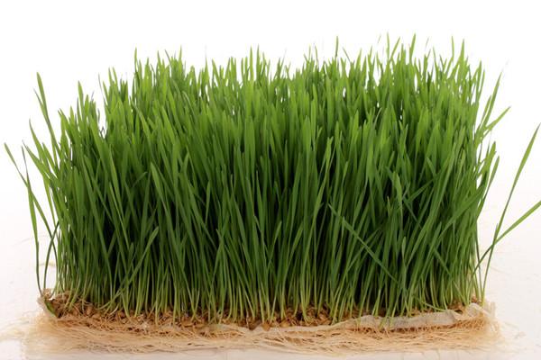 小麦草含有丰富的叶绿素、氨基酸、维生素、矿物质和酵素,对于肠胃消化吸收能力、排毒,极其有效。