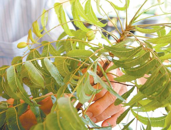 稔树叶──功效:性温和、味微苦、叶气香、治疗皮肤病、肝病。