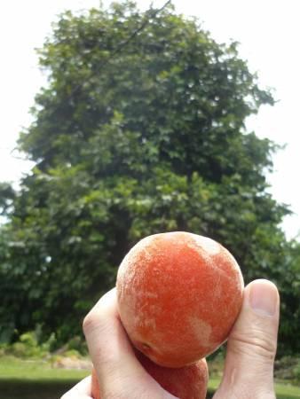 在马来西亚有一种水果叫Buah Mentega,其外型似桃。