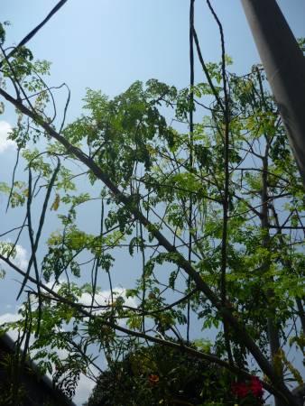 在我们眼中只是一棵普通的树,但印裔同胞却视它如神树。