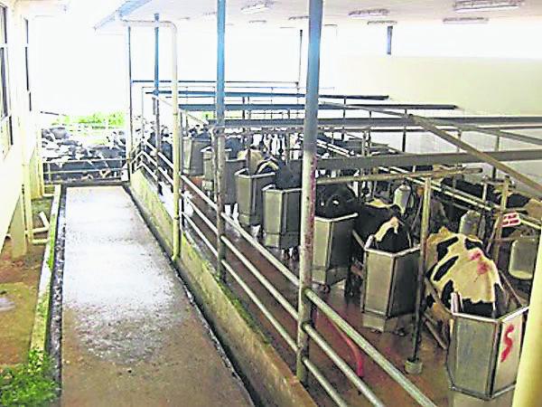 排排站,吃果果……牛儿就像训练有素的小孩般整齐的站着吃。