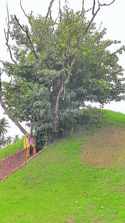 据传,林姑娘因无法成功劝说哥哥回家看望年老的母亲,最后在这棵猴枣树上上吊以死表心迹。