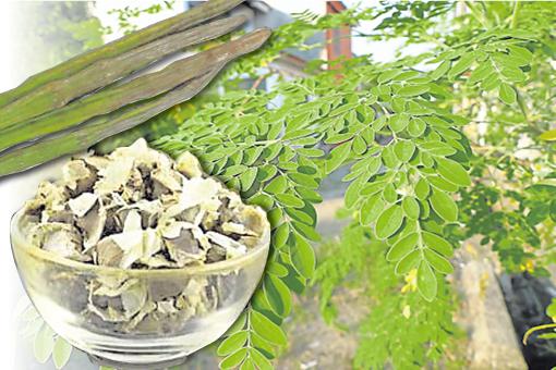 辣木在印度传统医学上,可是一种可以预防三百多种疾病的药材。