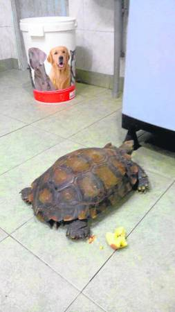 每当俞希财回家,小龟都会前来迎接。