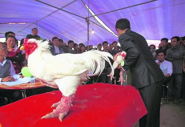 农展会上的东涛鸡,经常是焦点。
