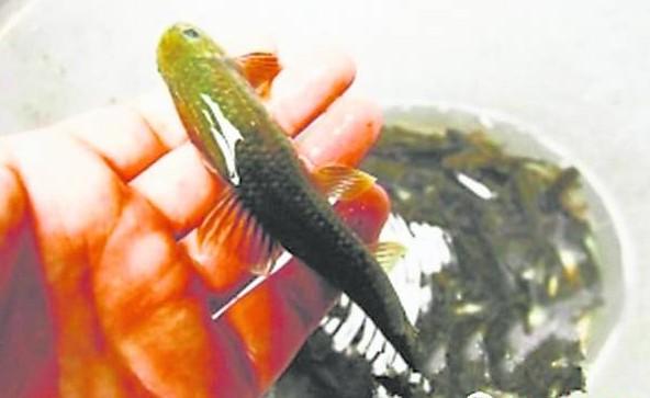 经专家鉴定,这些野生鱼大多是云南盘鮈鱼,鱼泉眼应连接了大宁河的暗流鱼群通道。