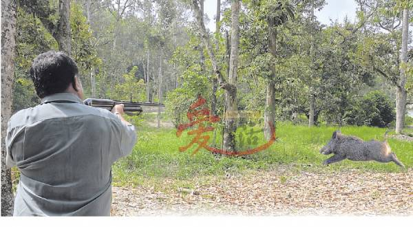 来自打猎世家的郑纪荣和郑纪权两兄弟,因自幼随家人去打猎,射击技术了得,而死在他们枪下的野生动物,尤其是山猪更多不胜数。