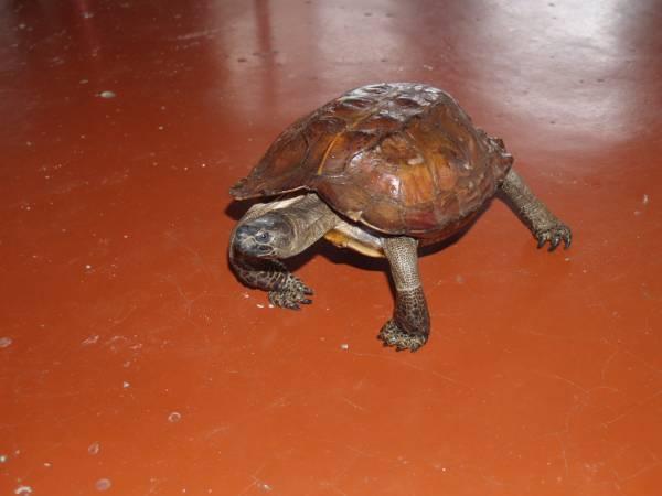 来自全马各地的善信及游客,前来庙里膜拜摸龟有增无减。