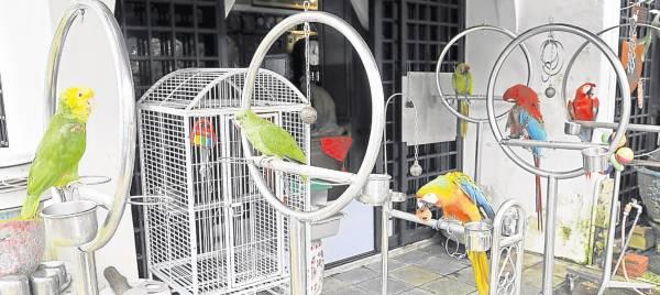钟武威的住家养满了鹦鹉,仿佛是一个鹦鹉乐园。
