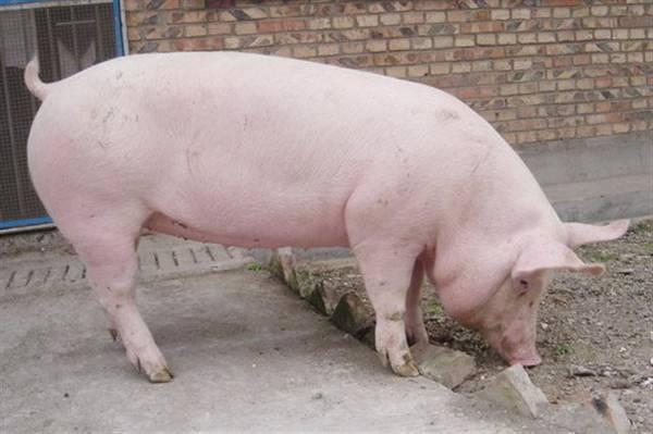 一名吴姓男孩惊爆自己前世是一头猪,更认出前世宰杀他的屠夫。