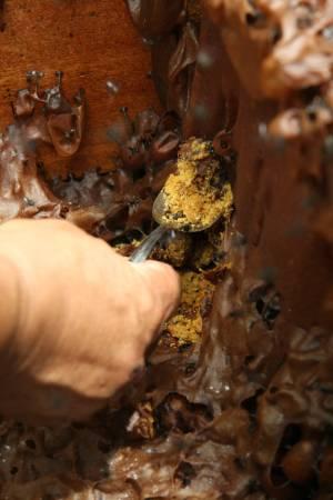 采蜜者只需撬开蜂箱盖,即可轻易收集蜂蜜。