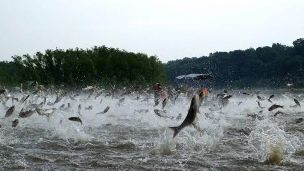 """上世纪七十年代,美国在部分河塘引入中两国鲤鱼,但它们在洪水氾滥时成功""""出狱"""",在野外大量繁殖,令当地鱼类濒临绝种。图为伊利诺伊河面,一有船经过就可以惊动千万条鲤鱼跳出,场面夸张。"""