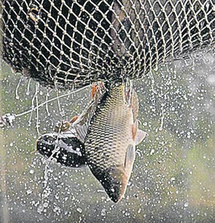 肥美的鲤鱼,美国视为灾劫,但运往中国就成为佳肴。