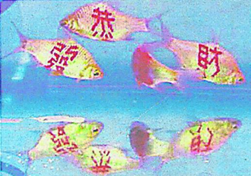 """鱼儿什么时候组成""""恭喜发财""""这句吉祥话呢?"""