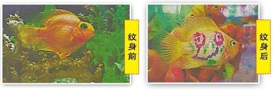 """一只只纹着""""旺""""字的纹身鱼,肯定适合华人心意。"""
