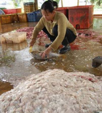 由于鱼鳞有多种人体所需的矿物质,可以补钙、强化骨骼,使平时被丢弃的鱼鳞,顿时成了炙手可热的抢手货。