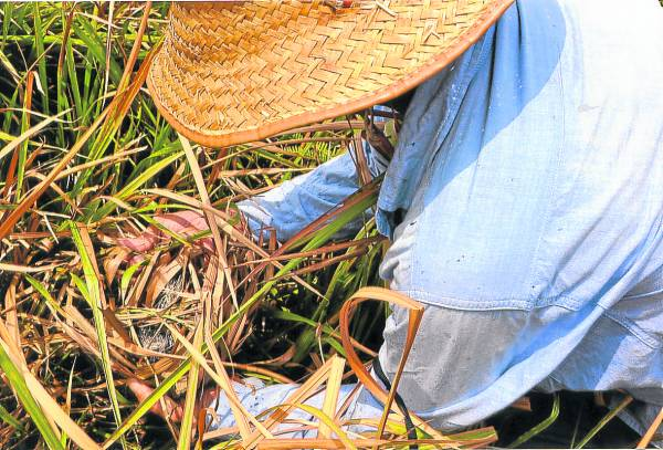 毛鸡的窝巢多结在隐秘的草丛中,而毛鸡窝藏有草药,也是制毛鸡的现成材料。