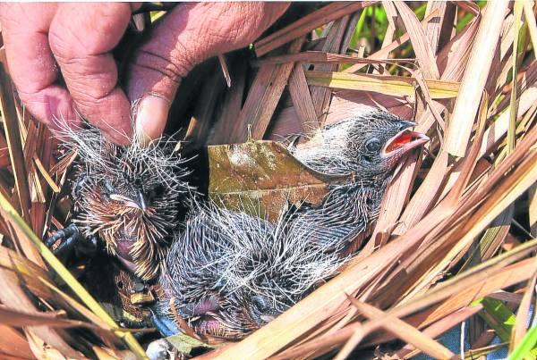 浸毛鸡酒的材料是用毛酒雏鸟,而且雏鸟要不大小刚刚好,因为太大的雏鸟身上的羽毛都长了出来,不适合炮制毛鸡酒。