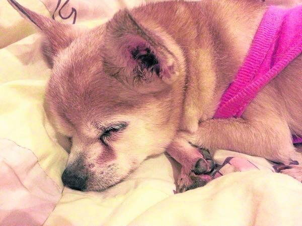 Princess因年老,导致眼盲、耳聋、后腿萎缩、心脏衰弱,身体不断抽搐等病痛。