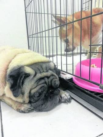 家里另一狗狗唐十一曾被Princess魂魄吓得半死,瑟缩一旁不敢入眠。