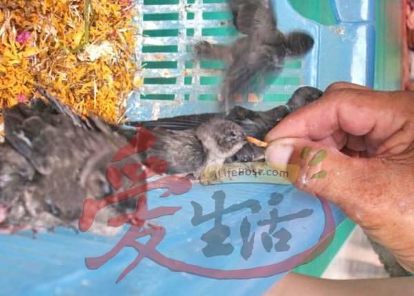 据悉,善信可以喂雏燕测试自己的运气,如果雏燕肯吃善信喂的虫,就代表他运气好。