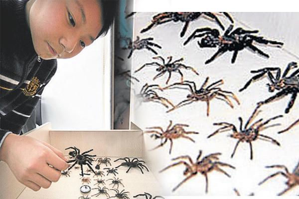 年纪小小的张书源将蜘蛛一个个排列整齐,并一一说出它们的品种与特征。