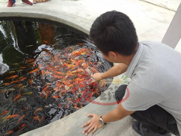 用奶瓶喂鱼你试过没?从小养大的鲤鱼完全不怕人,把手也放下水中便会热情亲吻。