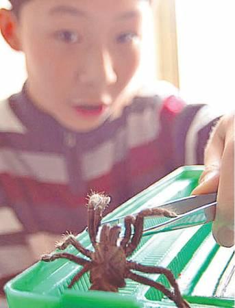 不怕蜘蛛的张书源最喜欢另类宠物,如今,他已视蜘蛛为好朋友。