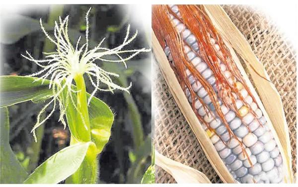 普通的玉米的玉米须是浅黄色的,而彩色玉米须则是棕褐色的。