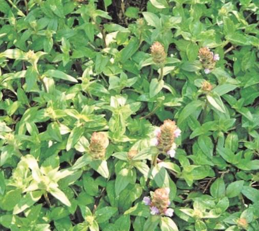 夏枯草有清肝明目、疏风散热、除湿痹、解疮毒的作用。