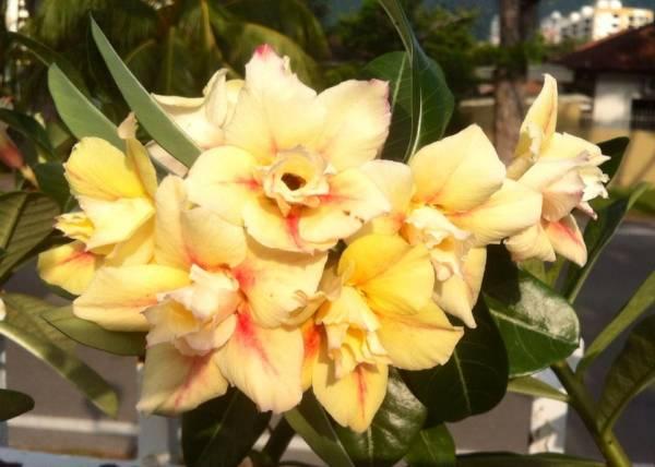 富贵花耐旱的个性,不需要太多照顾,愈得花迷欢心。