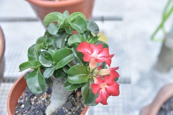 羊角在富贵花的品种是以茂密又翠绿的小弯叶取胜,Alex说常常卖断货。