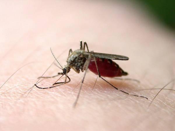 经常被蚊子咬?网络流传麻油可以驱蚊哦!