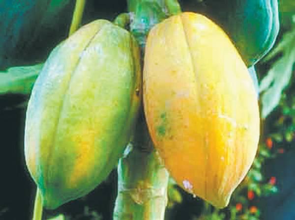 木瓜——功效:平肝舒筋,和胃化湿