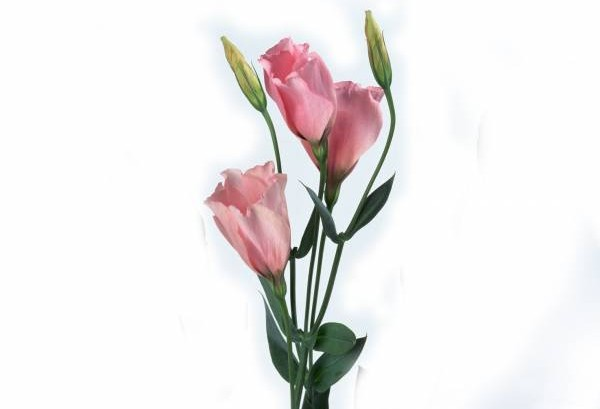 在房间摆无刺的粉色鲜花,有助巩固夫妻情。