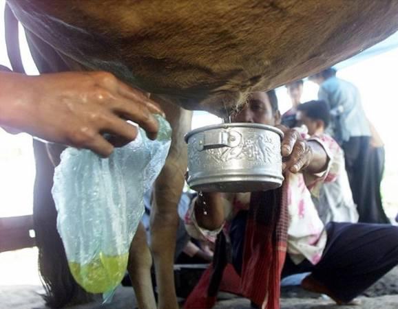 """圣牛""""尿""""效:位于柬埔寨南部的村民们,相信这头牛具有治愈力,他们甚至把牛的尿液揉到眼睛里,并治愈了老年人的常见病——白内障。"""