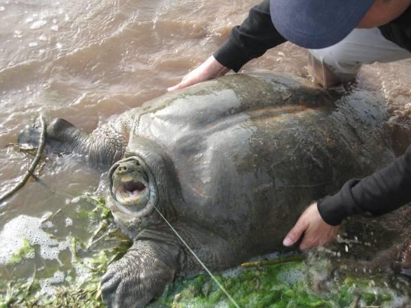 濒临绝种:世界最大淡水斑鳖濒临灭绝,2011年,在越南河内,发现世界上最后仅存的四只斑鳖个体中的一只。