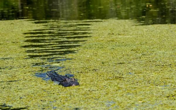曼查克沼泽水面偶尔会有鸟类的浮尸,而水里还有鳄鱼出没。