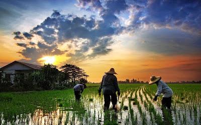 晚霞时分,稻民冒着大汗忙播种插秧。