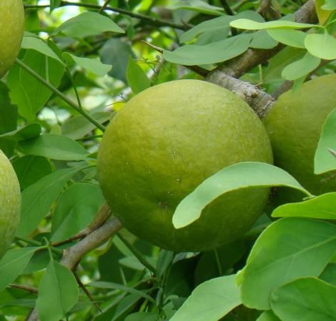 孟加拉柑橘(Bael Fruit)——功效:天然通便剂,能清除及调整小肠功能、能制止分泌及止血作用、对高血压有一定的疗效。