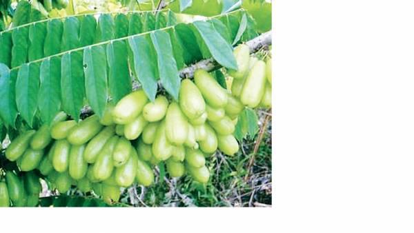 酸杨桃——功效:清热利尿、降血糖。
