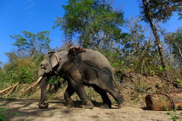 得力帮手:大象是拖动大木的好帮手,机器所无法到达的丛林,它们都能应付。
