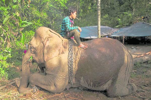 难舍难离:象夫为38岁的失业大象Hsar Hlay洗澡。照顾大象的经费不菲,但他们不舍得卖出去。