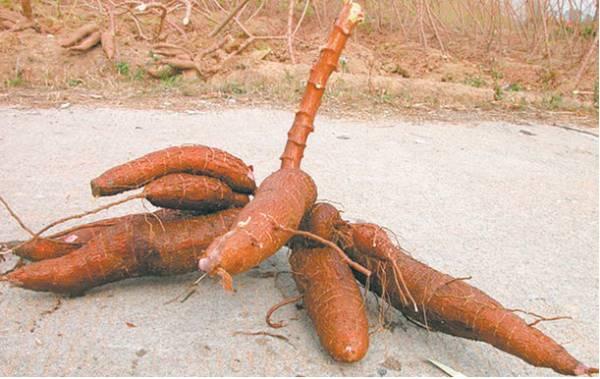木薯——功效:消肿解毒。