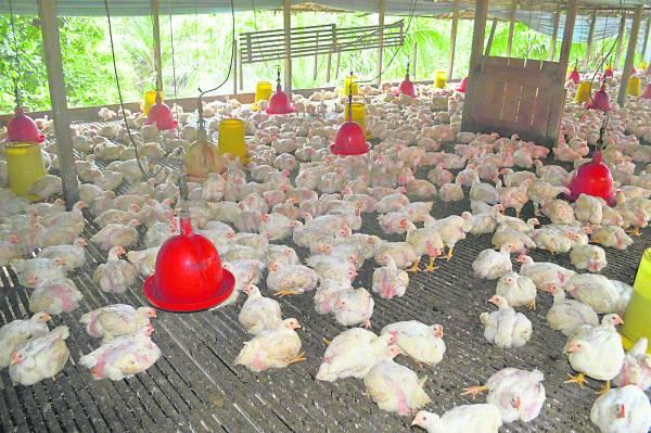 每30只归类在一个鸡寮系统,有规模化的养鸡场,更能饲养出有品质的肉鸡。