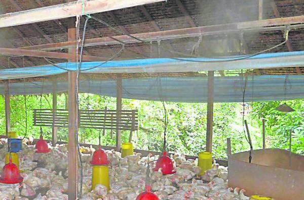 鸡寮里装置的自动喷洒水雾系统,既能控制温度和湿度,更有助鸡只的成长。