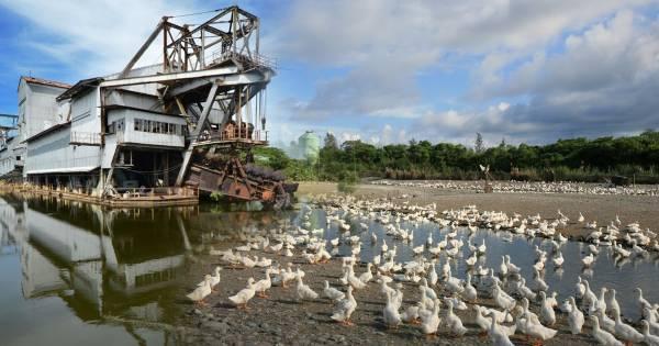 由矿湖变成的督亚冷养鸭场,数以万计的鸭子被养到60天后就得卖出了!