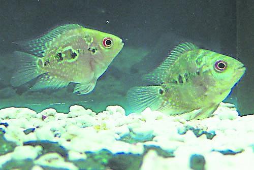 罗汉鱼鱼苗外表和一般小鱼一样,无法辨别雄雌。